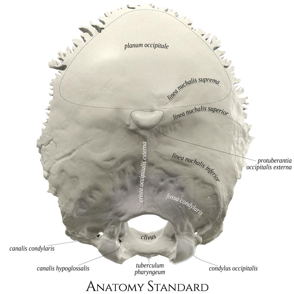 occipital condyle [condylus occipitalis] înseamnă în null